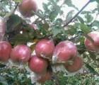 潍坊红富士苹果便宜了