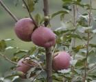 云南特产昭通丑苹果晚熟冰糖心苹果昭通红富士 10斤一件代发