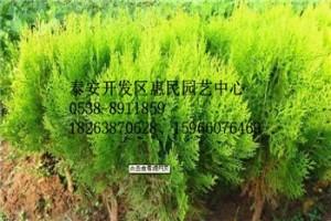 山东临沂侧柏绿化苗销售中心 农户直销 价格便宜 规格齐全
