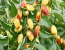 鲜枣产地低价供应鲜大枣、长红枣、金丝枣