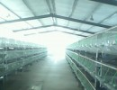 山东大型獭兔养殖场种兔苗价格