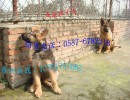 德国牧羊犬多少钱一条?哪里有还有德牧犬幼犬?