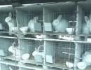 河南商丘獭兔养殖场獭兔价格种兔苗