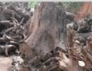 非洲桃花心木原木树根黄埔港可以进口吗?专业清关运输