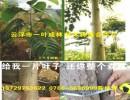 楠白木(印尼速生白木楠) 广东速生楠白木替代桉树首选