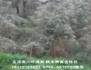 楠白木 印尼白木楠 黄梁木抗台风比速生桉树强