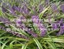 最耐阴的彩色花卉金边麦冬草地被植物彩色苗