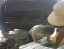 笼养圈养野兔价格家养种兔苗,野兔家养