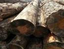 大量铁杉木到货|一手货源|物美价廉