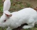 獭兔苗多少钱一只