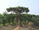 林业景观松|景观造型松首选莱芜