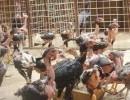 越南斗鸡多少钱 越南斗鸡价格