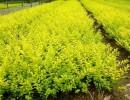 永兴苗圃、黄刺梅批发价格、四季玫瑰苗圃