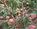 保鲜桃树苗品种丨无需冷藏桃树苗丨山东晚熟桃树苗销售园艺场
