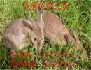 【野兔养殖】杂交野兔种比利时野兔养殖杂交野兔苗种兔散养野兔免费送货