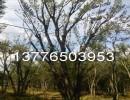 2,3,4公分小朴树价格 朴树苗木批发