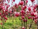 承德花卉苗木、春满人间花卉苗木、花卉苗木樱花垂柳紫叶李