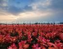 """美丽彩色树种""""红霞杨"""",打造山西生态旅游彩叶景观"""