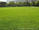 济南市厂家批发抗旱耐盐碱护坡高羊毛草坪绿化草种成活发芽率高