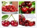 [厂家]优质原料 针叶樱桃提取物 25%VC 一公斤起订