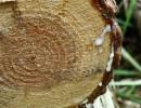 常州4.5米杉木原木大头12cm杉木原木强度高工程基础杉木