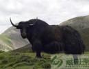 藏御源商城(在线咨询)_高端礼品牛肉_有机食品 高端礼品牛肉