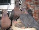 一对铜头黑背天使鸽深圳市场上卖多少钱