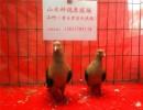 黑背天使观赏鸽  观赏鸽养殖场 山东山水种鸽养殖场出售观赏鸽