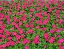 宿根花卉,芳青花卉苗,宿根花卉哪里好