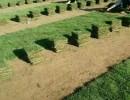 福建马尼拉草坪(图)