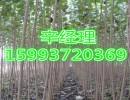 新密供应合欢树/金丝柳/价格15993720369
