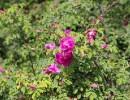 【热销】兰州价格超值的苦水玫瑰,酒泉苦水玫瑰