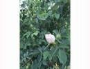 白银玫瑰苗|价格合理的玫瑰精油哪里买