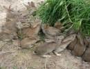比利时兔苗价格15069718881