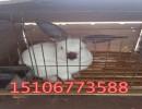 出售肉兔兔种 兔苗伊拉兔    肉兔价格 养殖技术