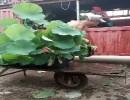 荷花的价格,荷花养殖方法,百草园花卉基地